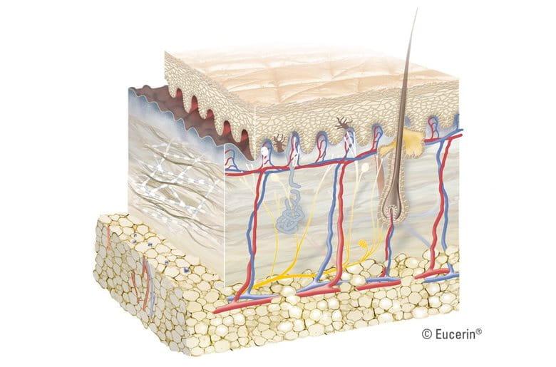 Minh họa sinh động về các lớp của da